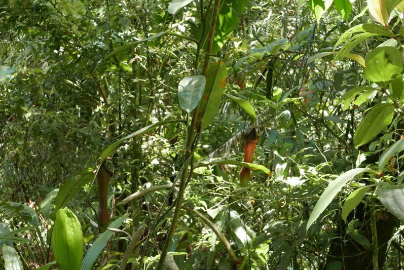 Kannen-Pflanze im Botanischen Garten