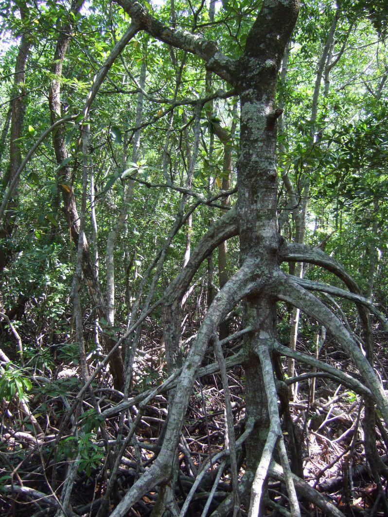 Mangroven_Karimunjawa_travel2eat (4)