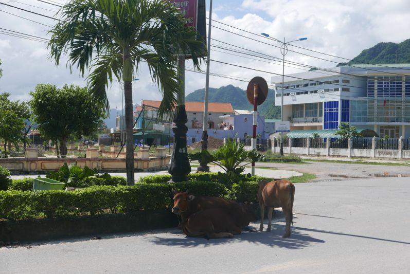 Die Kühe in Son Trach liegen entweder auf der Straße oder knabbern alles an :)
