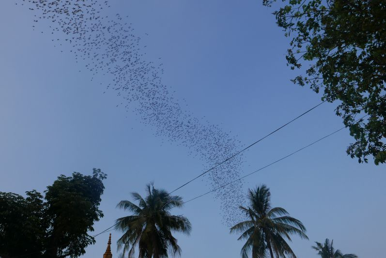 Fledermäuse Battambang