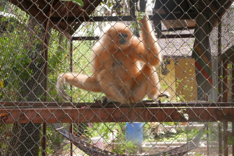 Insel-Gibbon