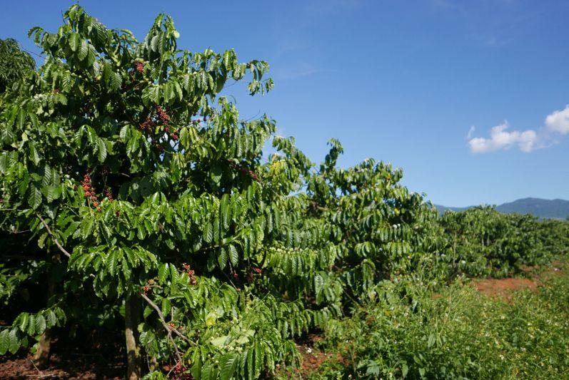 Kaffeeplantage bei Dalat