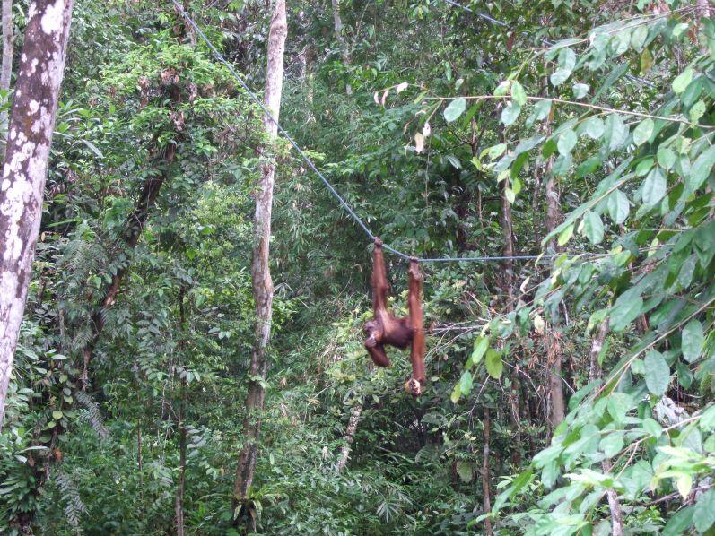 Orang Utans haben wir in der Nähe von Kuching gesehen