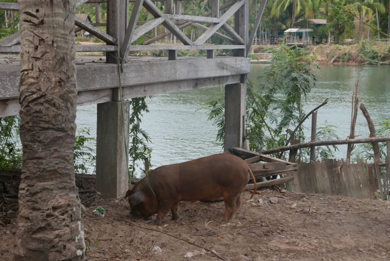Schwein_Don_Khon_Laos_treavel2eat