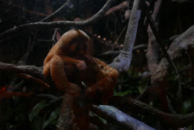 Während der Nachtsafari im Zoo hatten wir das Glück, Slow Loris zu sehen