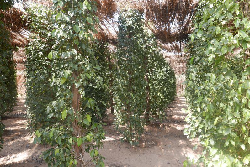 Hier wächst der Kampot-Pfeffer