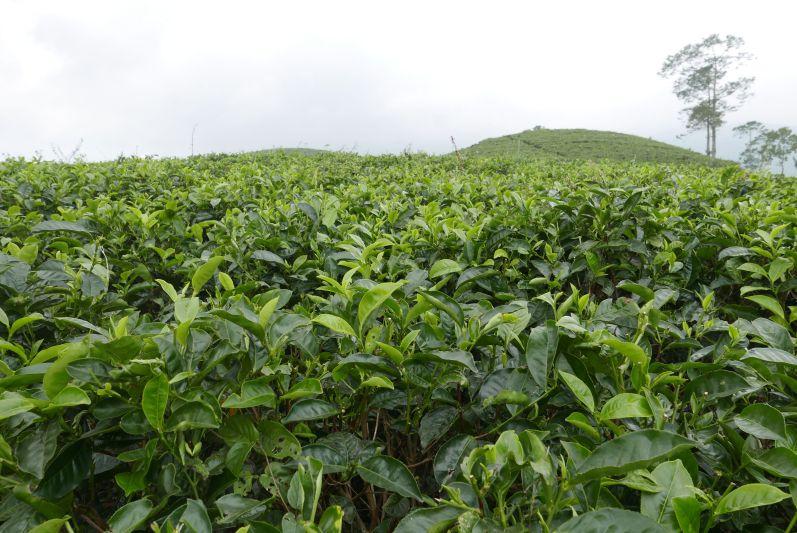 Teefeld in der Nähe von Solo