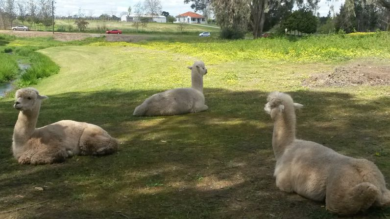 Zu guter Letzt: niedliche Alpacas im Swan Valley