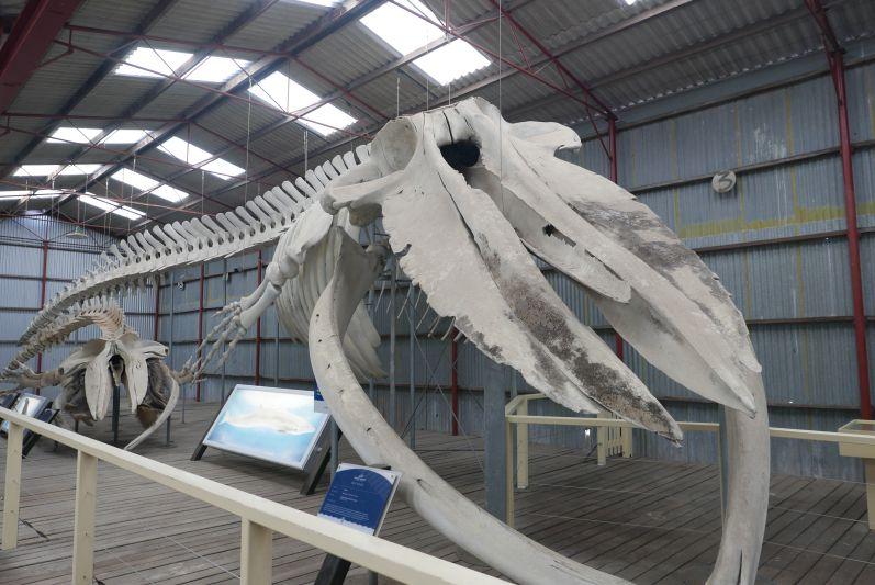 Blauwal-Skelett