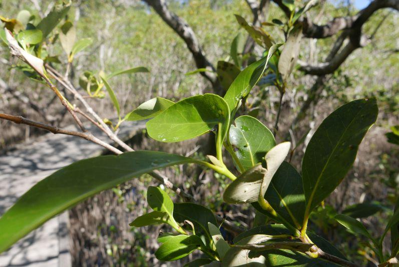 Wer genau hinguckt, kann das Salz auf den Blättern der Mangroven-Bäume sehen