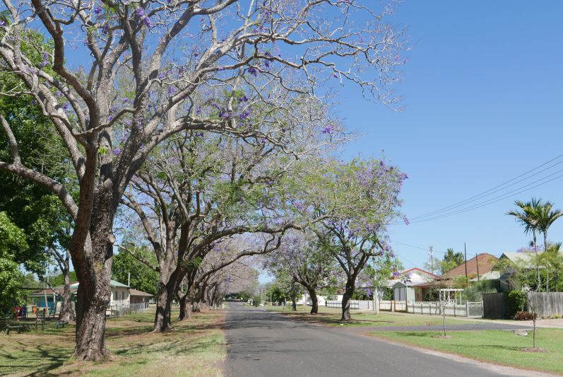 Jacaranda-Bäume