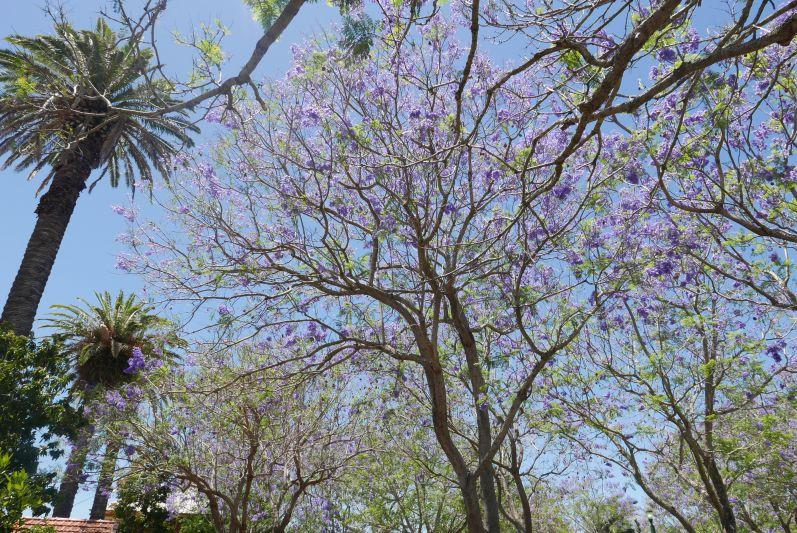 jacaranda_baum_grafton_travel2eat-4