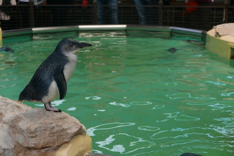 pinguine_penguin_island_rockingham_travel2eat-2