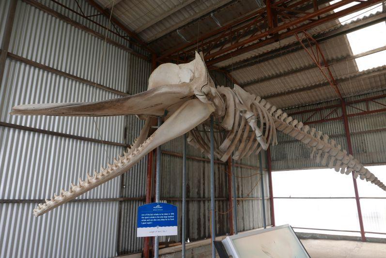 Pottwal-Skelett