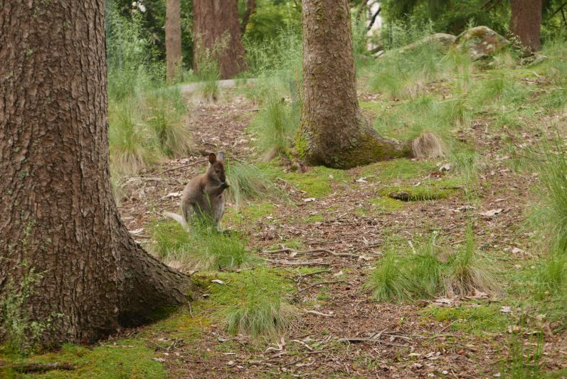 Wald-Wallaby in Tasmanien