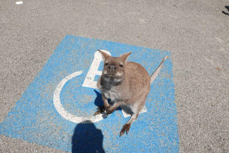 Begrüßung auf dem Parkplatz bei der Wineglass Bay :)