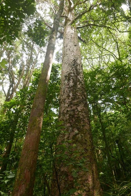 Kauri Bäume