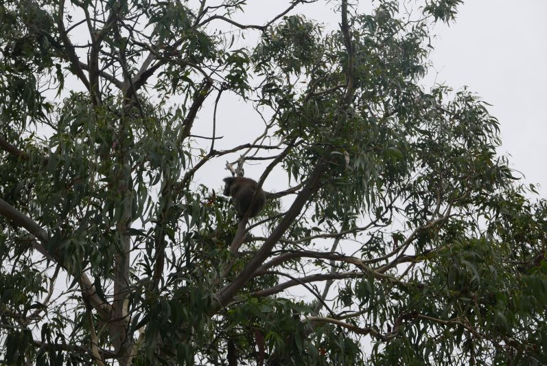 kennett_river_koalas_great_ocean_road_travel2eat-2