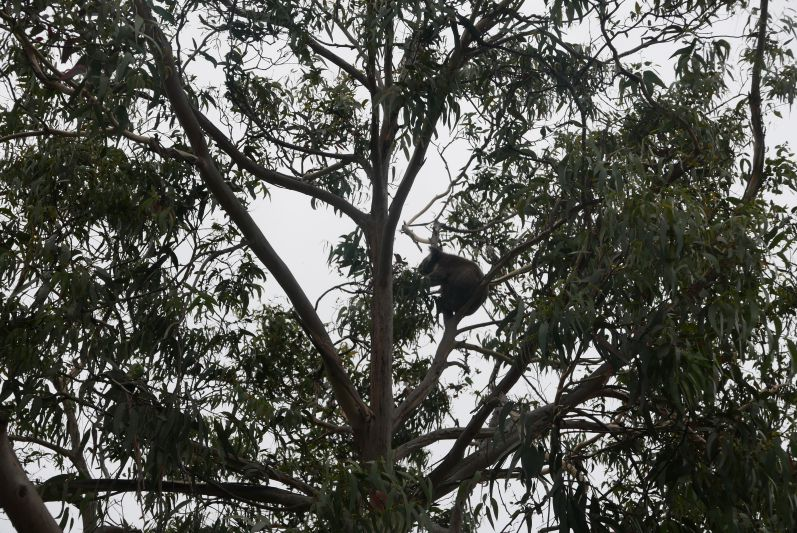 kennett_river_koalas_great_ocean_road_travel2eat-3