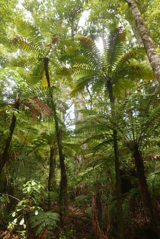 Puketi_Kauri_wald_Nordland_Neuseeland_travel2eat (3)